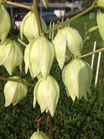 Yucca plant flowers