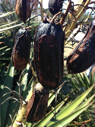 Recently developed Yucca aloifolia fruit
