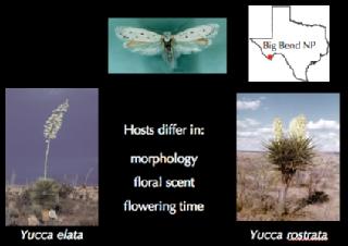 Inforgraphic on bogus yucca moths