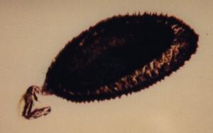 Egg of Eurytoma