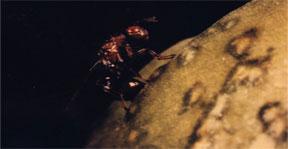 Female Eudecatoma on Yucca fruit